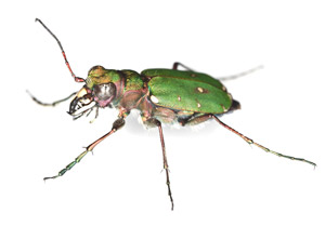green_tiger_beetle_79377337